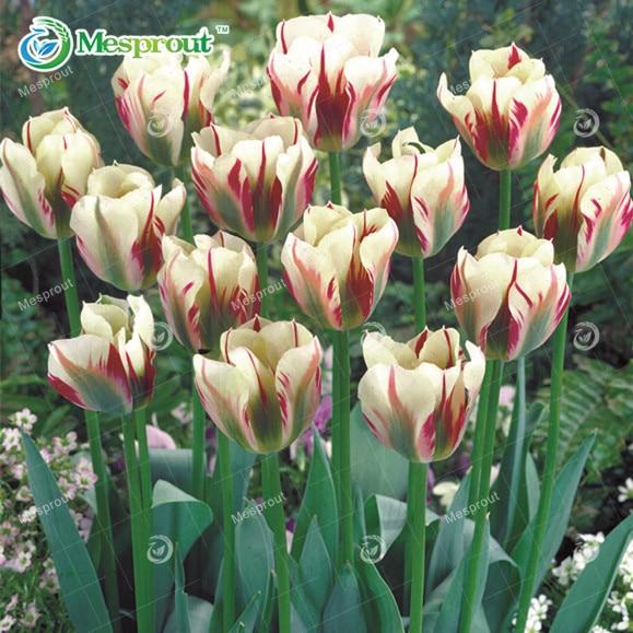 Bonsai Purple White Edge Tulip Seeds Tulip Flower Seeds Perennial Home Garden Potted Plants 10 Particles / lot