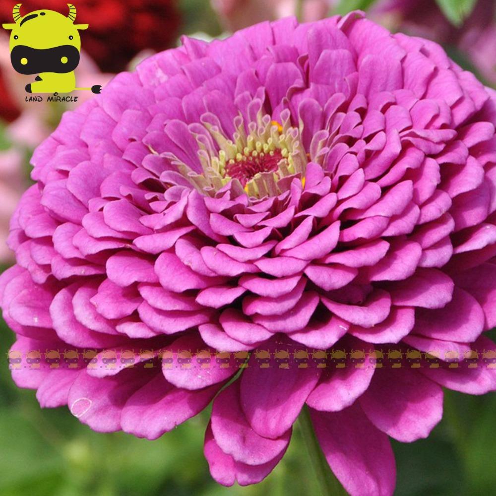 violet dahlia-achetez des lots à petit prix violet dahlia en