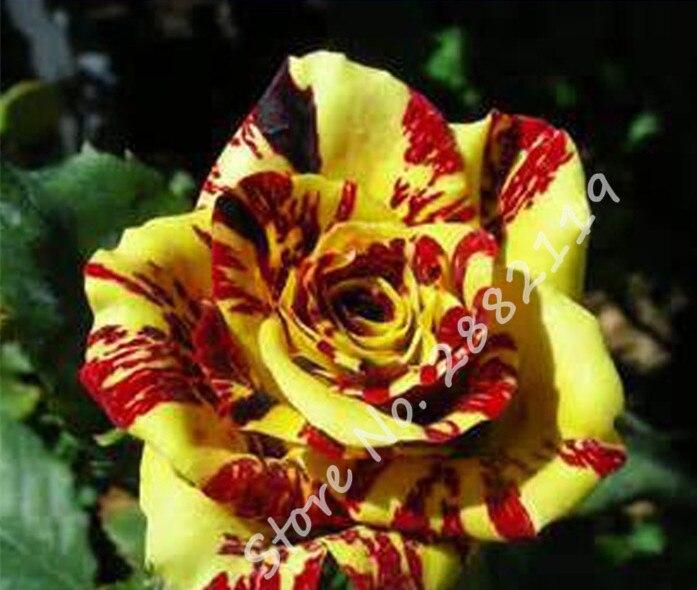 arbuste rouge rose-achetez des lots à petit prix arbuste rouge