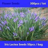 Ornamental Plant Perennial Herbs Iris Lactea Seeds 300pcs, Widely Cultivated Milky Iris Seeds, Family Iridaceae Ma Lan Hua Seeds