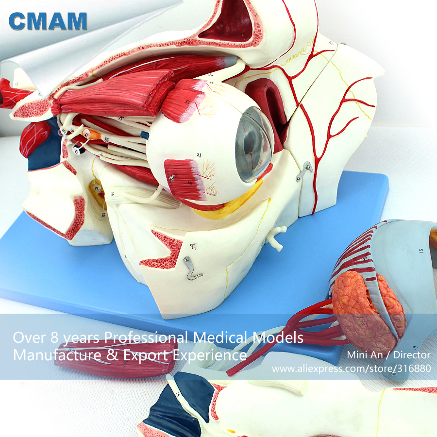 12528 CMAM-EYE04 Anatomy Human Eyeball and Orbit with Vessels and Nerves ,  Medical Science Educational Anatomical Models 12400 cmam brain03 human half head cranial and autonomic nerves anatomy medical science educational teaching anatomical models