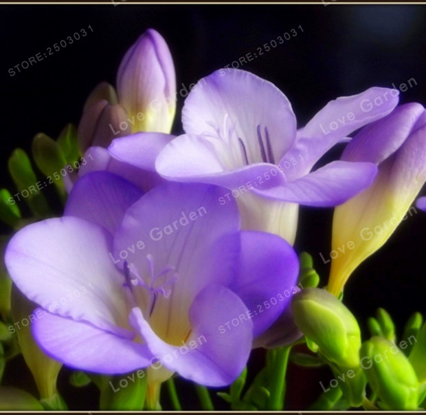 2 Bulbs True Freesia Bulbs Indoor Potted Flowers Orchids,Floral ...