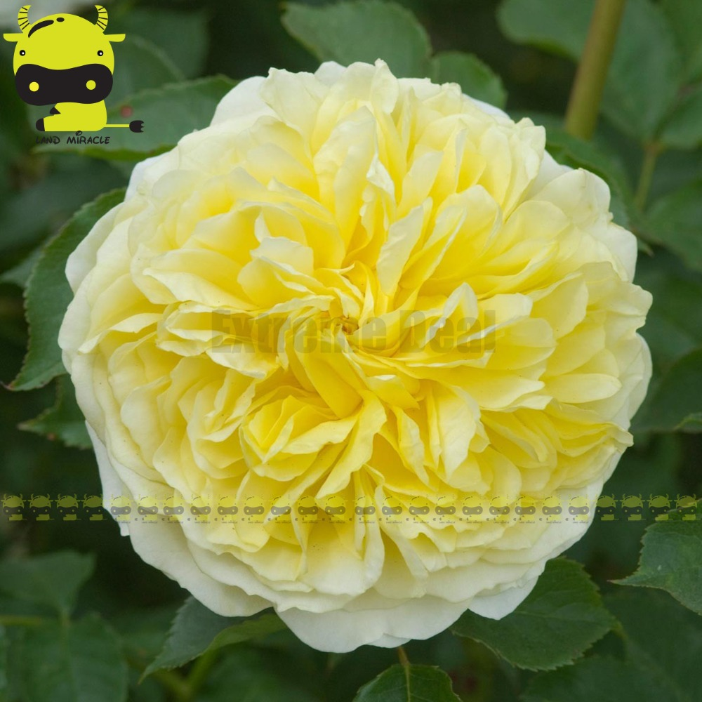 100 Genuine Bright Yellow White Peony Flower Seeds 5 Seedspack Bonsai Garden Flowers Seeds In Bonsai From Home Garden On Aliexpress