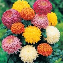 100pcs/bag Ground-cover chrysanthemum seeds, chrysanthemum perennial bonsai flower seeds daisy potted plant for home garden sup