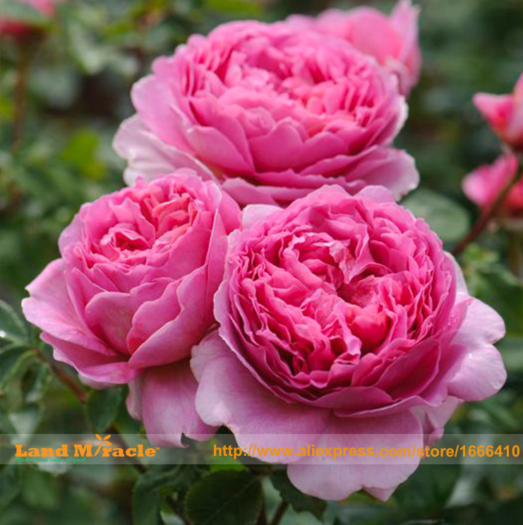 Rare heirloom pink peony bush flower for garden plant seeds 5 seeds rare heirloom pink peony bush flower for garden plant seeds 5 seeds very beautiful subshrubby peony flowers land miracle in bonsai from home garden on mightylinksfo