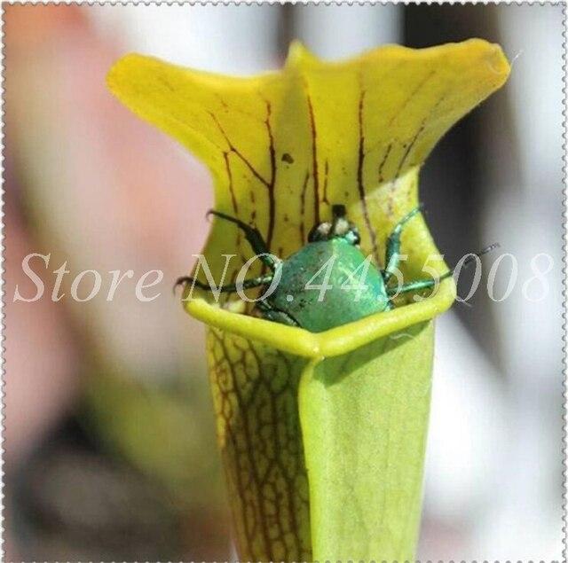 Giardino Semi di Dionaea Muscipula Gigante Clip di Venere Acchiappamosche All'aperto Bonsai Insettivori Flycatcher Vasi Da Fiori Fioriere 120 pz