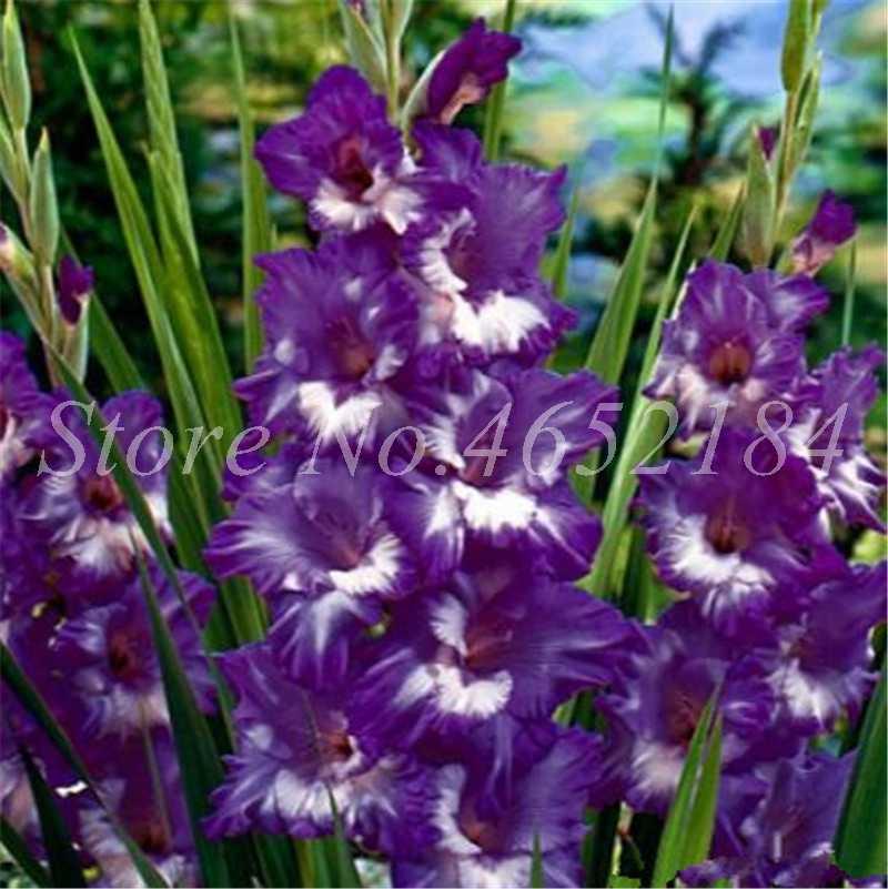 100 шт Редкие полосатые гладиолус бонсай, красочные гладиолус садовые растения цветы Орхидея в горшке цветение завод Gandavensis легко растут