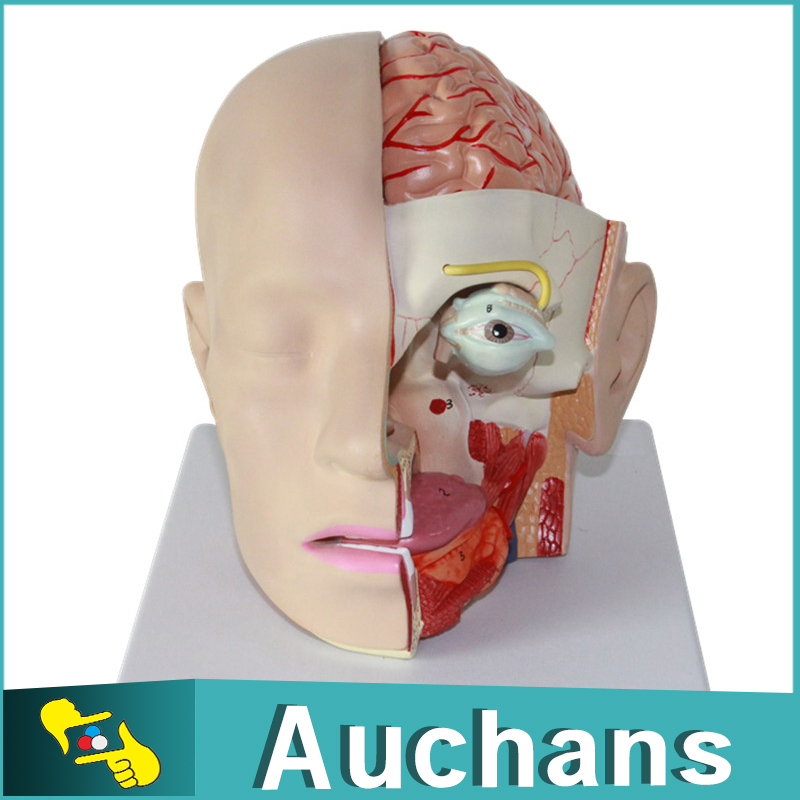 1:1 Size of Humans Skull 4 Parts Removable Head Cerebral Artery ...