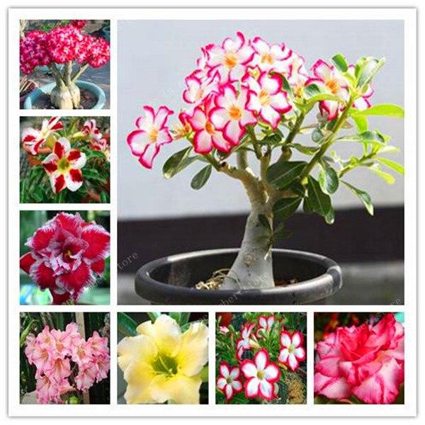 20 Pcs 100% True Desert Rose Plants Exotic Adenium Obesum Plants Flower Bonsai Plants Air Purification Home Garden Potted Flower