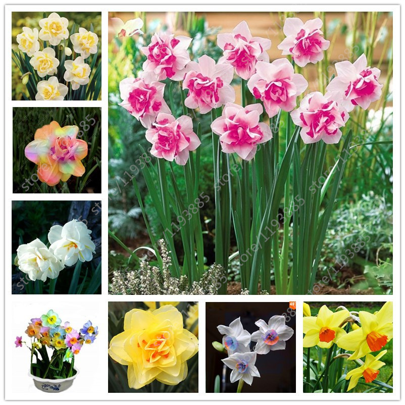100 pcs/bag narcissus flower, Bonsai seeds of aquatic plants double petals Pink Daffodil seeds flower seeds for home garden