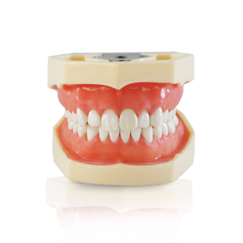 Dental All Removable Teeth Model 28 pcs Dental Teeth Model for Dental Practice free shipping good quality dental soft gum teeth model with tougnetypodont w 32 removable teeth nissin 200 compatible