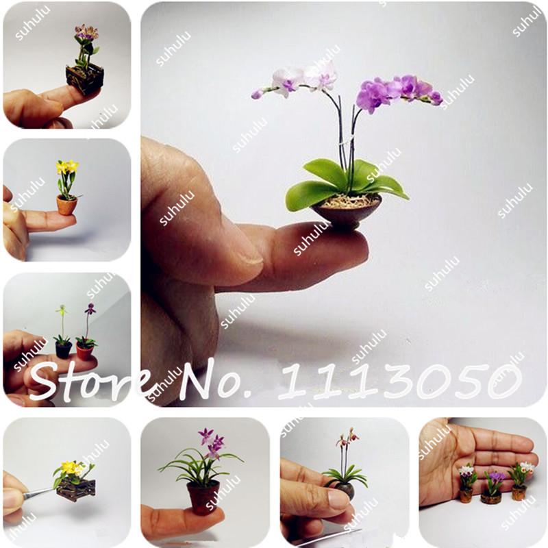 pcs mini orqudea bonsai sementes de flores desktop do escritrio flores interior de