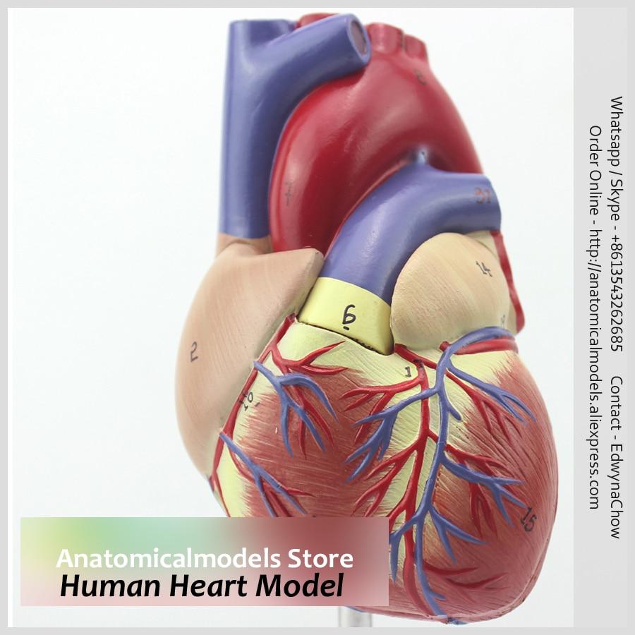 Freeshipping Human Anatomical Heart Model Heart03 In Medical