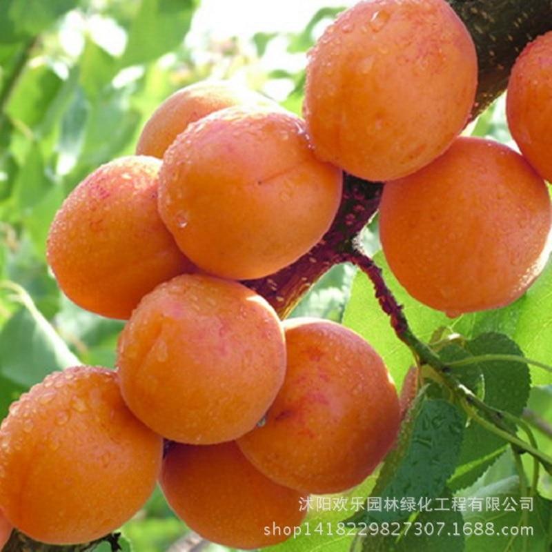 Rechte abrikozenboom basis goedkoper vroegrijpe fruitboomgaard bonsai soorten 2 stuks / verpakking
