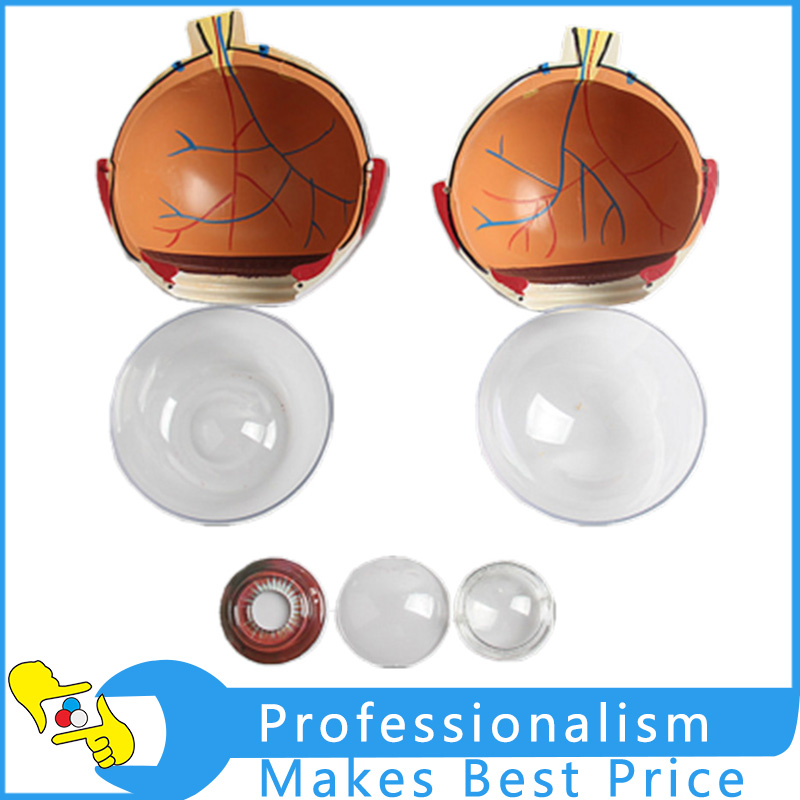 Enlarge 6x Human Eye Model Eyeball Anatomy Model Human Eyeball Teaching Model Medicine cmam nasal01 section anatomy human nasal cavity model in 3 parts medical science educational teaching anatomical models