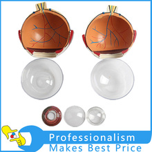 Buy eyeball anatomy model and get free shipping on AliExpress.com