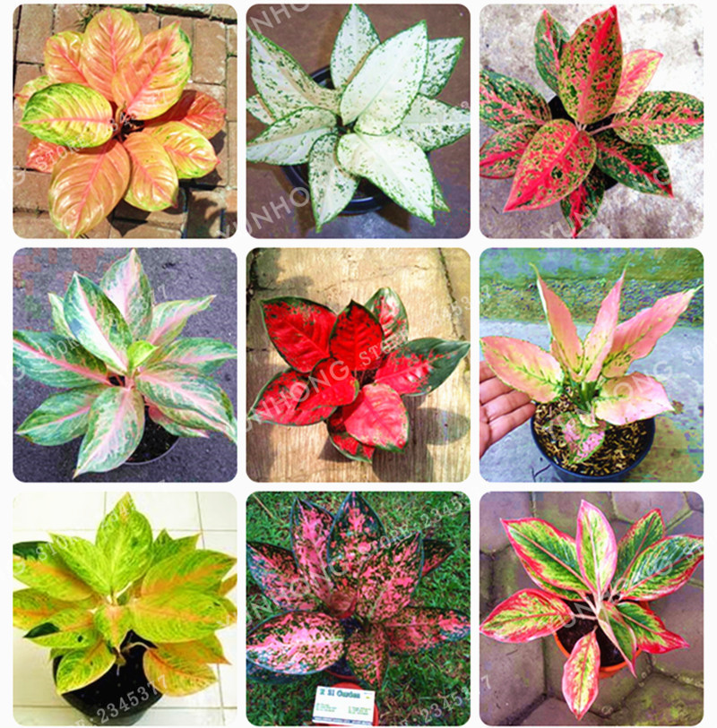 50 Pcs/Bag Aglaonema 'Pink Dud' Beautiful Mosaic Plants ...