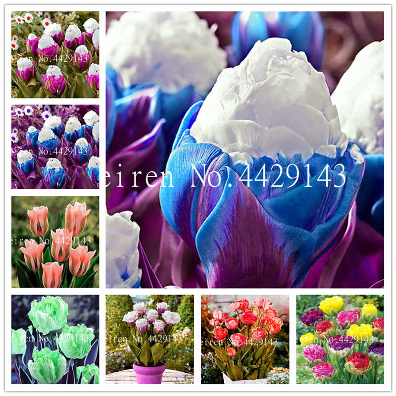 100 Pcs High Quatity Flower Plants Rare Tulip Bonsai Colorful Plants Not Flower Bulbs,Bonsai Balcony Flower For Home Planting