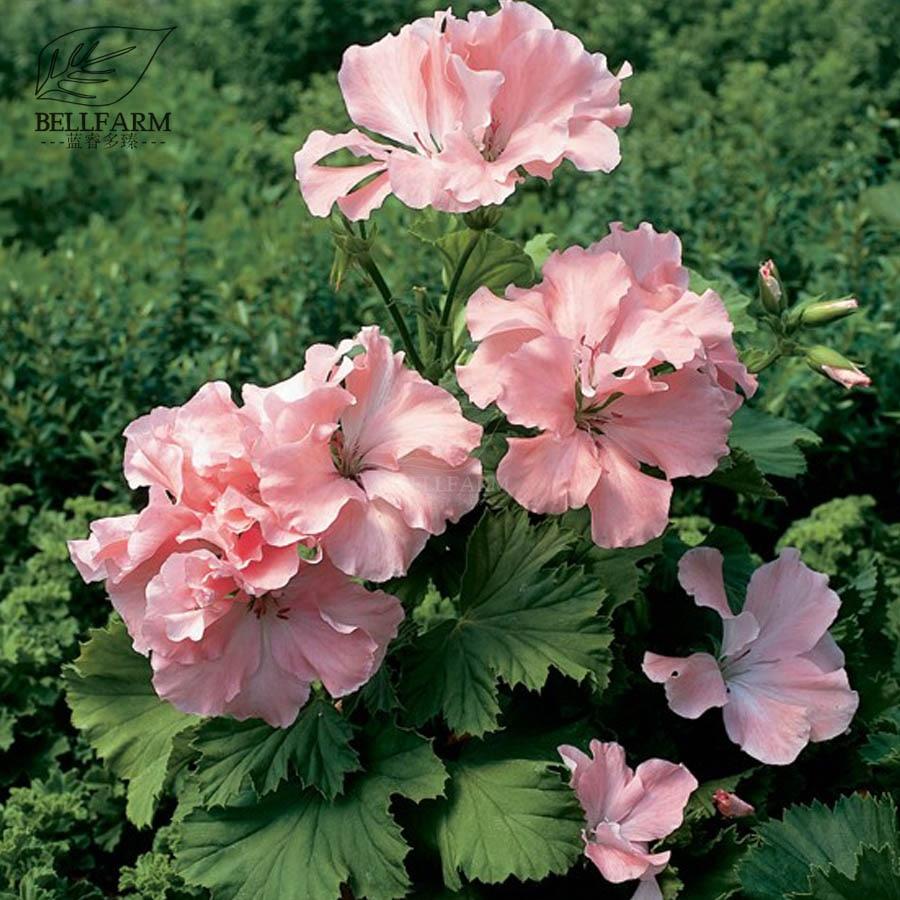 Bellfarm Geranium Georgia Peach Fully Pink Semidouble Petals