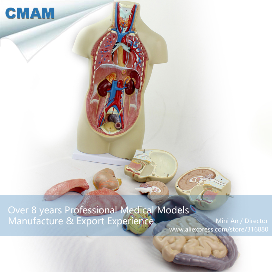 цены 12012 CMAM-TORSO01 Mini 45cm Human Asexual Torso with 12 Parts Organ Anatomy, Medical Science Educational Anatomical Models
