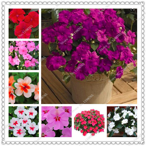 200 seeds/pack impatiens flower seeds four seasons Balsam seeds.potted plants seeds for home garden