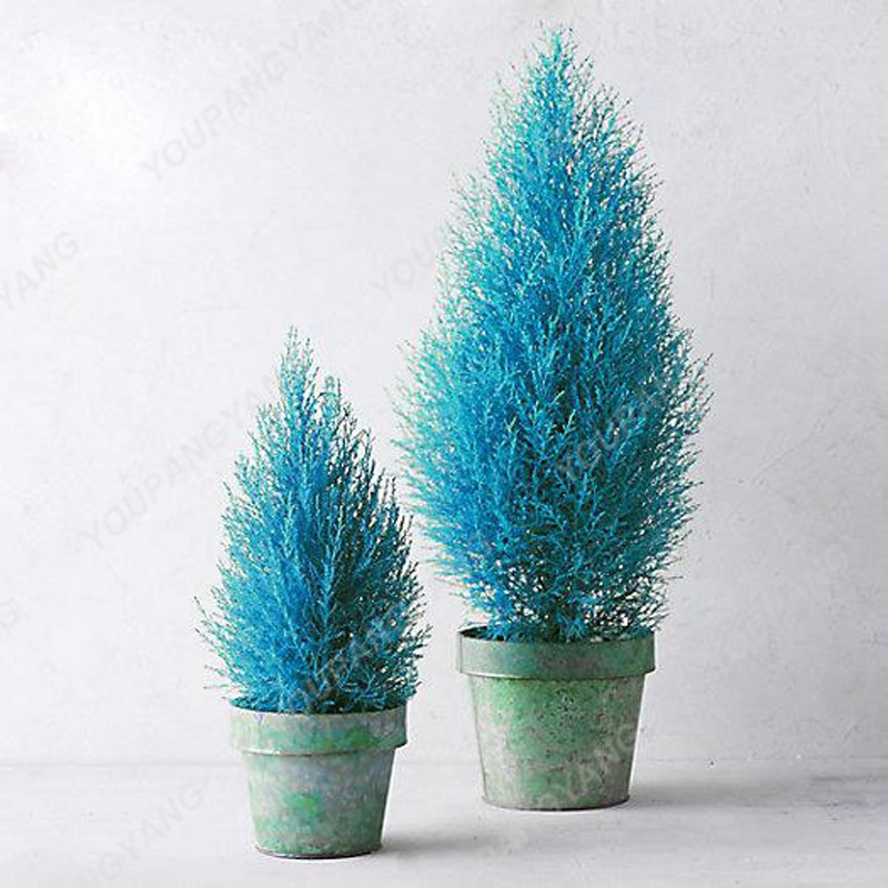 100pcs Blue Cypress Trees plants Rare Platycladus Orientalis Oriental Arborvitae plants Conifer plants DIY Home Garden - 3326-05872e.jpg