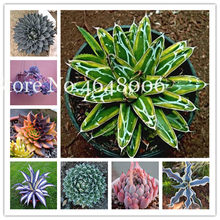 100 Pcs Bonsai Flower Agave Bonsai, Good Life Rare Succulent Perennial Flowering Agave Pot Plants For Home Garden Decoration(China)