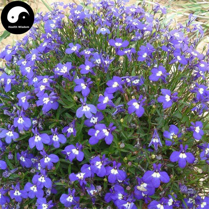 Detail Feedback Questions About Buy Lobelia Erinus Flower Semente