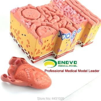 ENOVO The anatomy model of the tongue of the human tongue