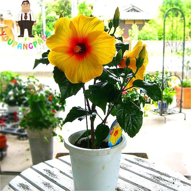 100pcs Bag Hibiscus Flower Seeds Giant Seed Bonsai Tree Perennial Flowers Plant For Home