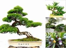 15 семена Японский Пять листьями Черный Сосновые семена деревьев, 4 сезон зеленый бонсай семена деревьев, 2015 Осень Новые Семена