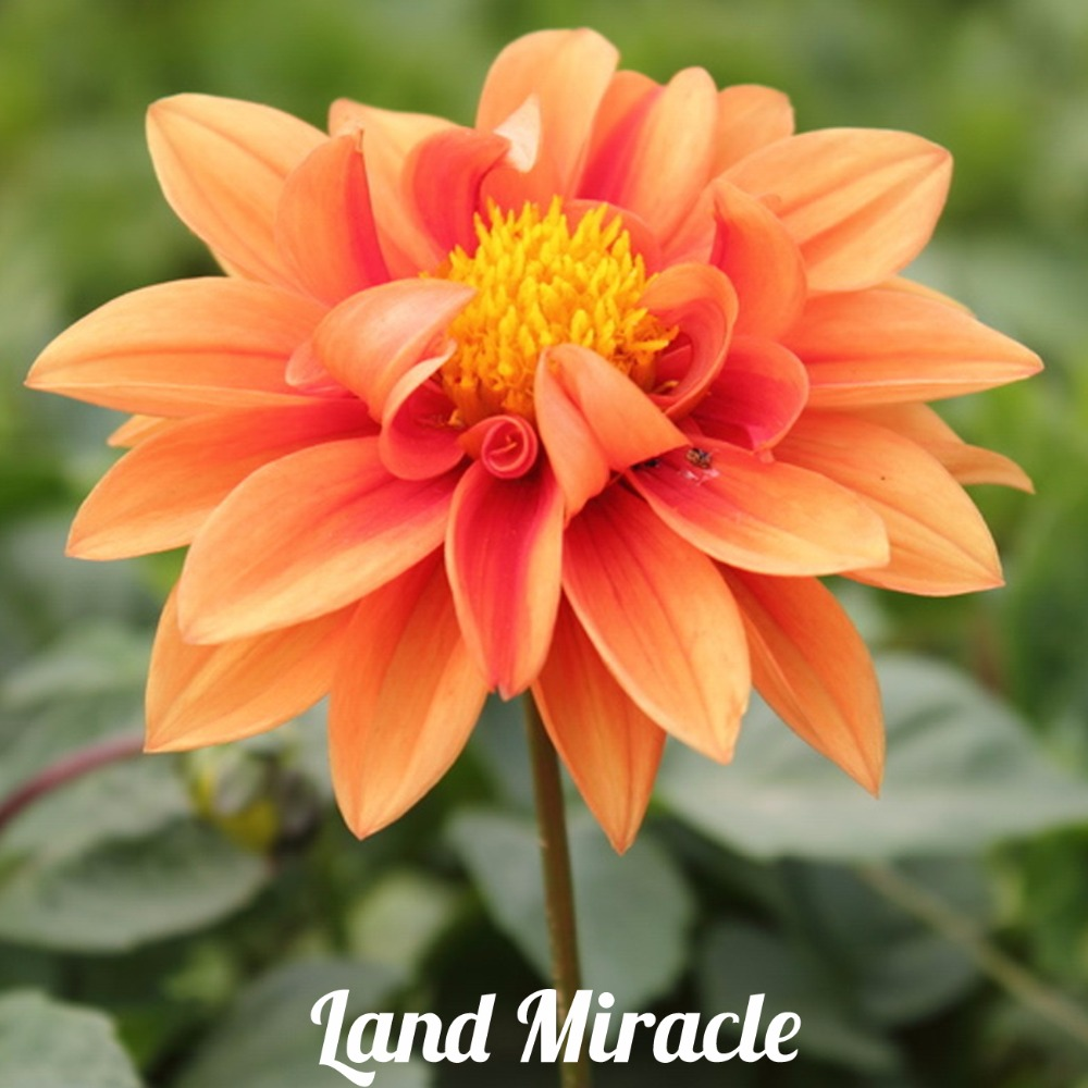 50 seeds unique orange fireball dahlia seeds beautiful flower the dahlia flower meaning ranges from a sign of warning to even a sign of betrayal izmirmasajfo
