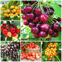 10pcs Red Cherry Bonsai Balcony Garden Fruit Potted Plants Cherry Organic Fruits for home garden decoration(China)