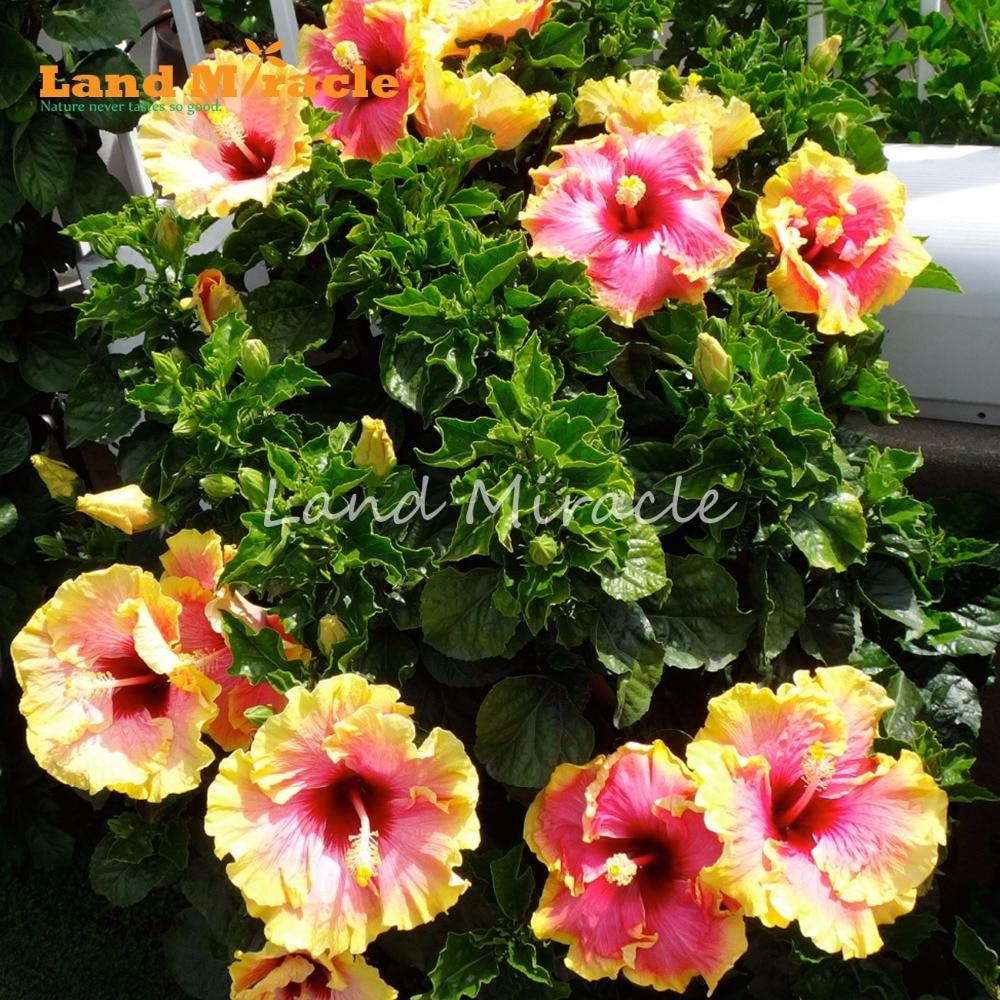 20PCS Giant Golden Hibiscus Seeds Hibiscus Rosa sinensis Flower Bush ...