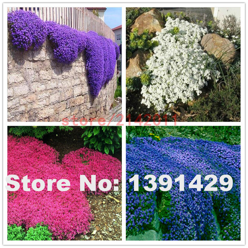100pcs Bag Mixed Creeping Thyme Seeds Or Blue Rock Cress Perennial Ground Cover