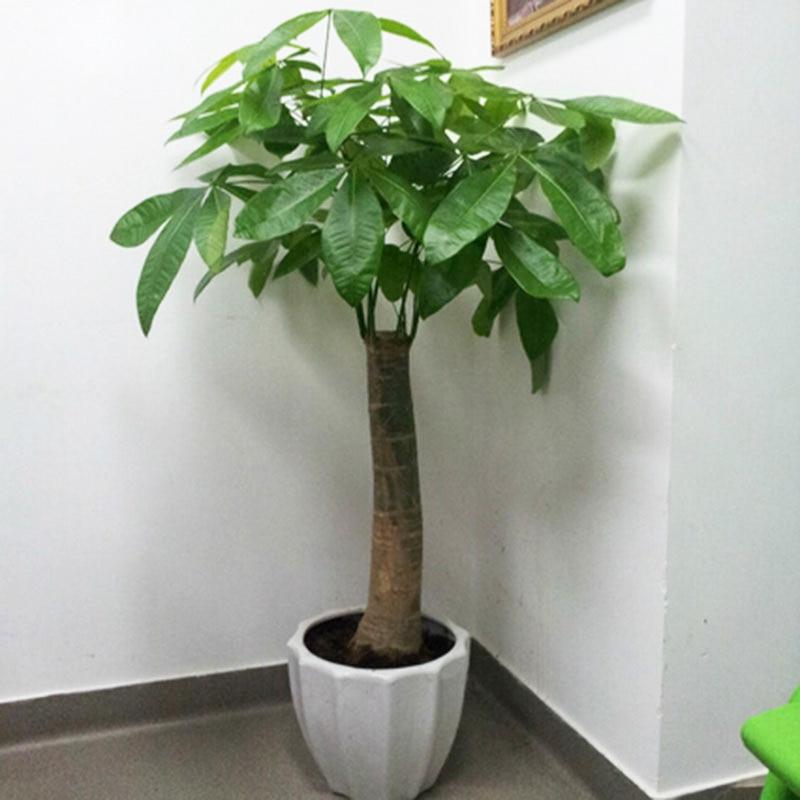 Popular pachira money tree buy cheap pachira money tree - Pachira pianta ...
