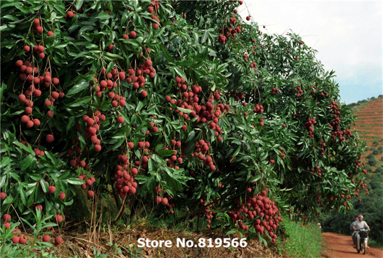 real chinese litchi chinensis fruit seeds outdoor lychee plants, Natural flower