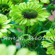 Promotion!!! Rare Green Firebird Seeds 50 PCS Coneflower Echinacea bonsai  Double Flowers Spoon Raspberry Plant