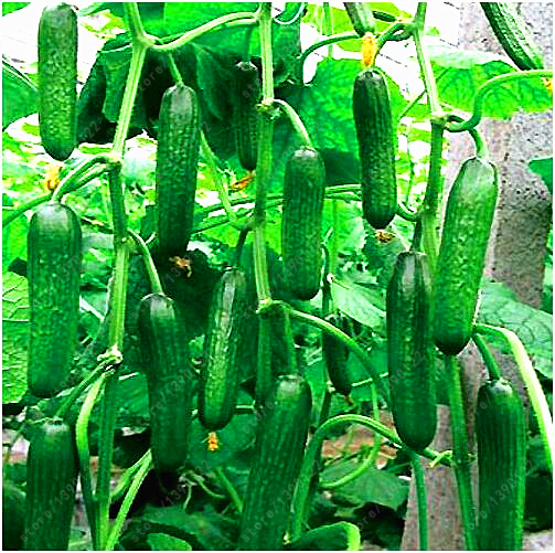 100 cucumber seeds ORZEL extremely early, Polish variety, for open soil gro..