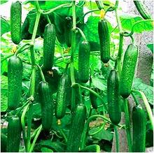 Buy   growing  vegetable seeds for home garden   online