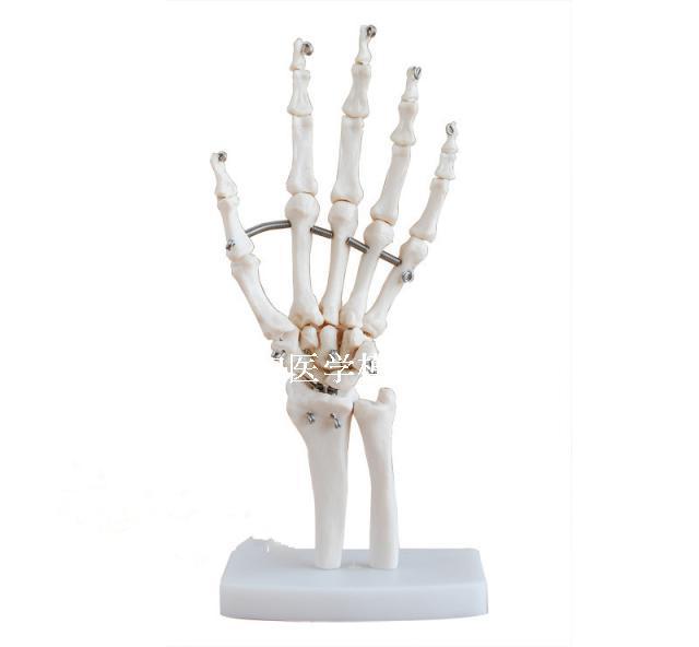 1:1 Size Human Skeleton Hand Joints Model Medical Teaching ...