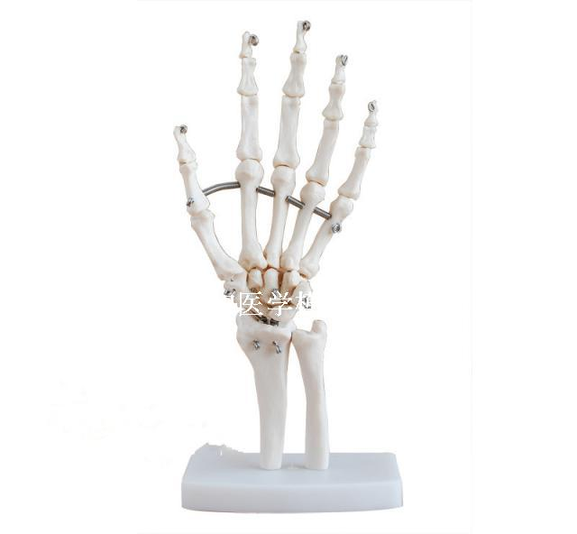1:1 größe Menschliches Skelett Hand Gelenke Modell Medizinische ...
