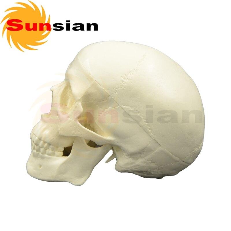 Mini schädel model 3 teile, menschlichen anatomische schädel modell ...