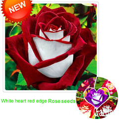New arrival white red edge rose seeds garden seeds plants potted rose rare flower seeds balcony.jpg 250x250