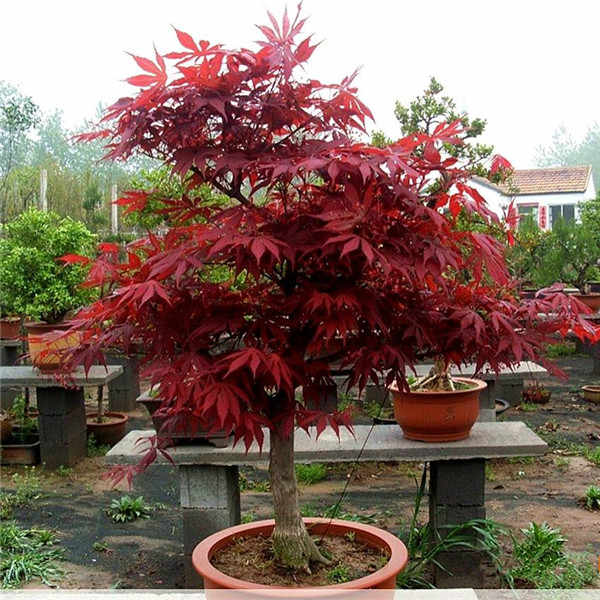100 Pcs/Pack New Arrival!Red Japanese Maple Beautiful Plant Tree flores Bonsai Garden Decor DIY Plant Home
