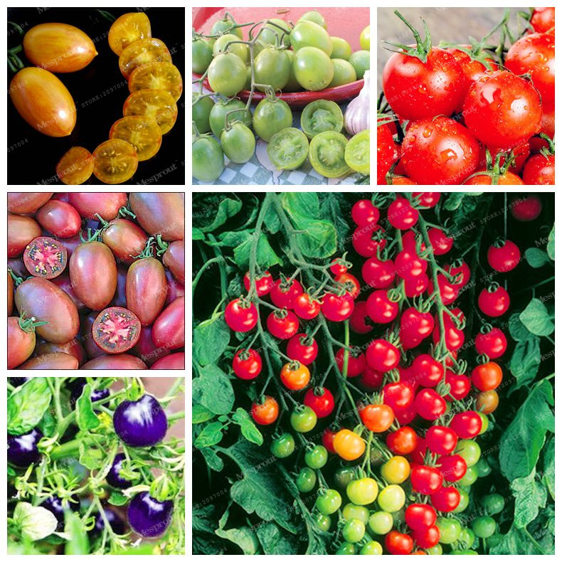 Hot Sale100 Pcs Mix Colors Tomato Seeds(Lycopersicon esculentum)Organic Vegetable Seeds Bonsai Plant Pots Planters Home Garden