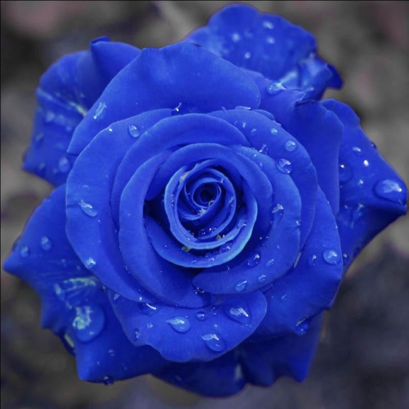 Blue Rose Fragrant Gardens Bright Flowering Plants Strong Dragon Seeds 120