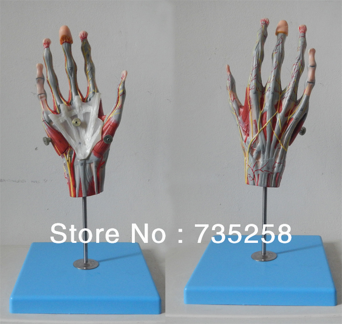 Muscles of Hand with Main Vessels and Nerves Model economic half head with vessels model anatomical head model with brain nerves vascular muscles and vessels