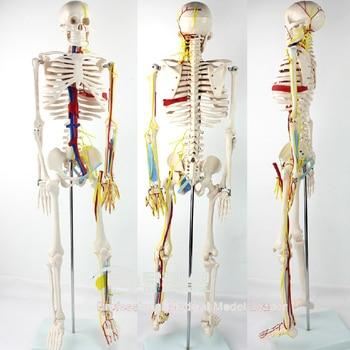 цена на 85cm Medical Human Model Heart Artery Spine Human Manikin model body meridians clear Medical Teaching