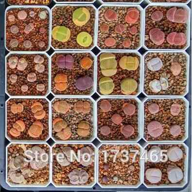50 pcs Lithops Super mix Succulents พืช bonsai DIY หน้าแรกสวน #4002
